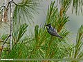 Spot-winged Tit (Periparus melanolophus) (27635405713).jpg
