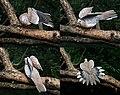 Spotted Dove Ic4- Kolkata- preening & sunning.jpg