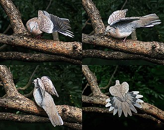 Spotted dove - Subspecies suratensis making comfort movements