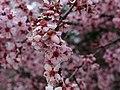 Spring-plum-purple-tree - West Virginia - ForestWander.jpg