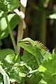 Sri Lanka Common Green Forest Lizard (16750968721).jpg