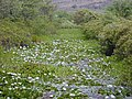 Starr-010914-0051-Nymphaea sp-filling canal-Lahaina-Maui (24459803361).jpg