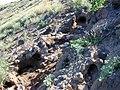Starr-021108-0045-Sida fallax-wedgetailed shearwater burrows-Molokini-Maui (24257611850).jpg