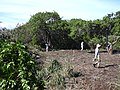 Starr-040122-0041-Schinus terebinthifolius-Americorps removing debris-Kanaha Beach-Maui (24579468082).jpg