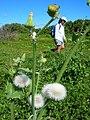 Starr-050222-4225-Sonchus oleraceus-seedheads with Kim-Mokuauia-Oahu (24644451281).jpg