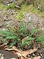 Starr-050815-3429-Pellaea ternifolia-habit-Pohakuokala Gulch-Maui (24750033736).jpg