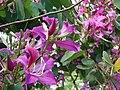 Starr-061109-1475-Bauhinia x blakeana-flowers-Kokomo Rd Haiku-Maui (24573291760).jpg