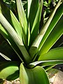 Starr-081031-0396-Ananas comosus-habit-Makawao-Maui (24296093764).jpg