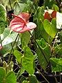 Starr-090609-0389-Anthurium andraeanum-flowering habit-Plants Alive Haiku-Maui (24595705489).jpg
