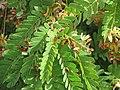 Starr-090720-2976-Tamarindus indica-flowers and leaves-Waiehu-Maui (24343152863).jpg