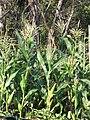 Starr-090801-3510-Zea mays-habit in garden-Olinda-Maui (24877569851).jpg