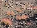 Starr-091207-0151-Rumex acetosella-habit-Split Rock Sliding Sands Trail Haleakala National Park-Maui (24873326202).jpg