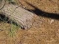 Starr-091221-0772-Tamarix aphylla-trunk and leaf duff-Honokanaia-Kahoolawe (24364371283).jpg