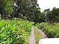 Starr-100601-6633-Hedychium coronarium-habit along road-Flume Rd Waikamoi-Maui (24921324012).jpg