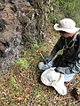 Starr-100621-3029-Artemisia australis-habit with Forest searching for Tephritid flies-Honokowai Ditch Trail-Maui (25014682256).jpg
