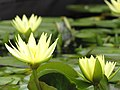 Starr-100803-8463-Nymphaea sp-yellow flowering habit-Enchanting Floral Gardens of Kula-Maui (24415112274).jpg