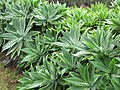 Starr-110307-2962-Agave attenuata-habit-Kula Botanical Garden-Maui (25079091165).jpg