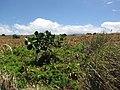Starr-110412-5115-Clusia rosea-spreading into abandoned pineapple fields-Kahana West Maui-Maui (24964592212).jpg