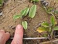Starr-110616-6238-Ipomoea imperati-leaves-Keopuolani Park-Maui (24801622740).jpg