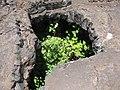 Starr-110712-7021-Physalis peruviana-habit-Bubble Cave HNP-Maui (24731245129).jpg