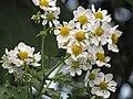 Starr-111129-1526-Montanoa hibiscifolia-flowers-Ulupalakua-Maui (25027251261).jpg