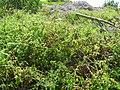 Starr-120513-9496-Solanum lycopersicum-fruiting habit-Waihee Coastal Preserve-Maui (24847115810).jpg