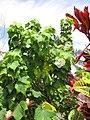 Starr-130312-2385-Hibiscus mutabilis-flowering habit-Pali o Waipio Huelo-Maui (25114018811).jpg