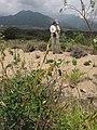 Starr-130422-4180-Crotalaria pallida-habit with Kim-Kahului-Maui (24583523963).jpg
