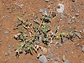 Starr-130617-5012-Tribulus terrestris-thorny seeding habit-Kealia Pond NWR-Maui (24585423203).jpg