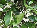 Starr-150301-0355-Citrus sinensis-Washington navel flowers-Hawea Pl Olinda-Maui (24638370893).jpg