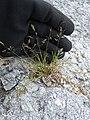 Starr-150402-0686-Poa annua-seedheads on abandoned runway-Northeast Eastern Island-Midway Atoll (25273738445).jpg