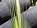 Starr-170505-0874-Bromus diandrus-seedheads-Science City-Maui (34383611344).jpg