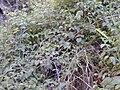Starr 020221-0051 Rubus glaucus.jpg
