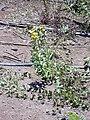 Starr 030702-0080 Crotalaria assamica.jpg
