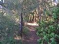 Starr 050108-3027 Casuarina equisetifolia.jpg