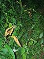 Starr 050818-4161 Syzygium jambos.jpg