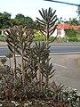 Starr 060121-5957 Kalanchoe tubiflora.jpg