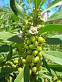 Starr 060305-6524 Myoporum sandwicense.jpg