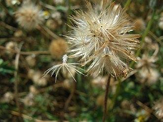 Tridax procumbens - Image: Starr 060721 9562 Tridax procumbens