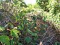 Starr 060905-8716 Passiflora vitifolia.jpg