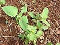 Starr 070208-4372 Sigesbeckia orientalis.jpg