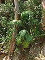 Starr 070306-5204 Livistona chinensis.jpg