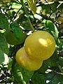 Starr 071024-0022 Citrus sinensis.jpg