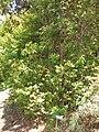 Starr 071024-0288 Myrciaria cauliflora.jpg