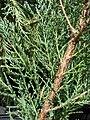 Starr 080117-2026 Juniperus virginiana.jpg