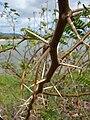 Starr 080530-4651 Prosopis juliflora.jpg