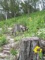 Starr 080610-9527 Casuarina equisetifolia.jpg