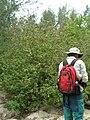 Starr 080610-9547 Abutilon grandifolium.jpg