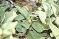 Starr 990412-0473 Solanum nelsonii.jpg