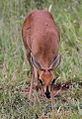 Steenbok, Raphicerus campestris - female - at Kruger Park (13899799133).jpg